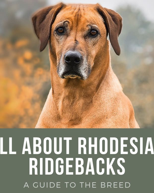 rhodesian-ridgeback---you-asked-for-it-and-now-you-have-it