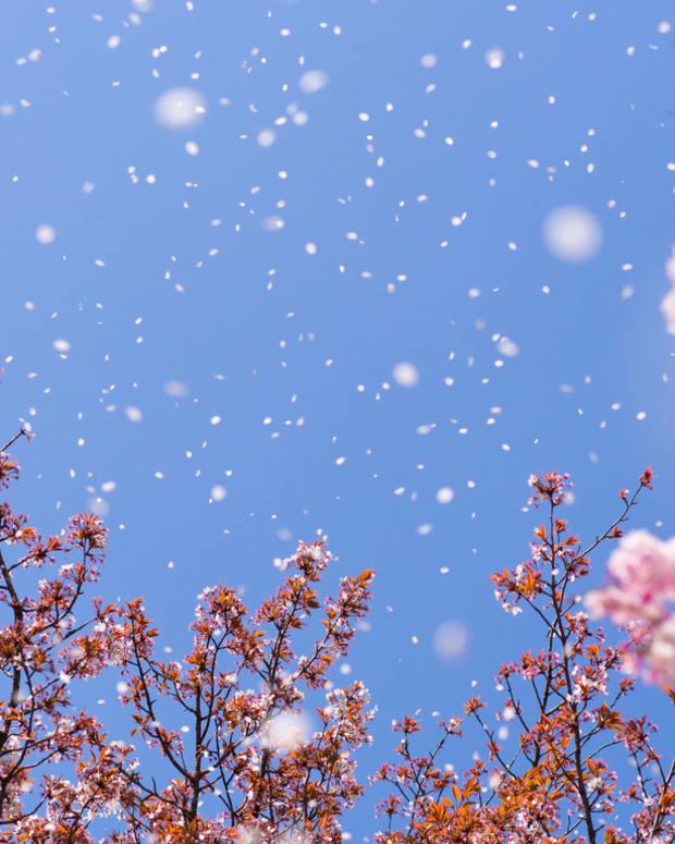 petals-upon-the-wind