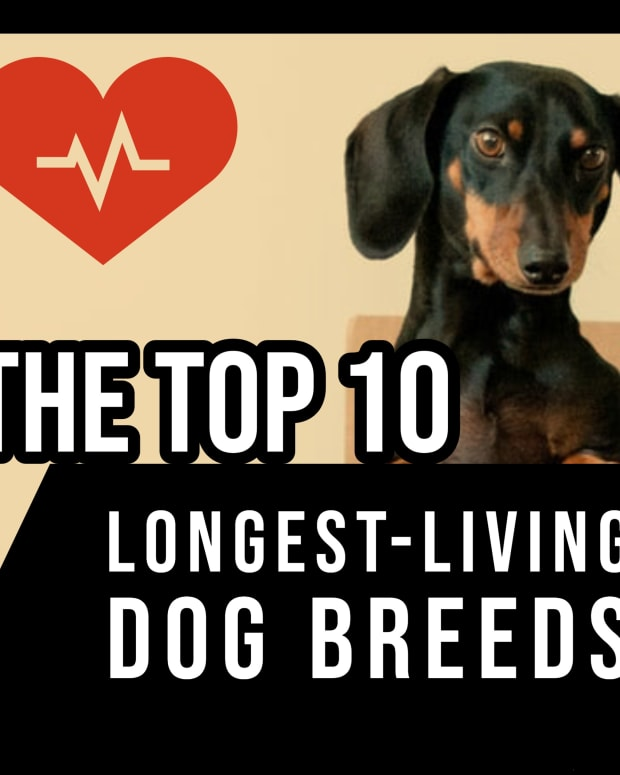 the-top-10-longest-living-dog-breeds