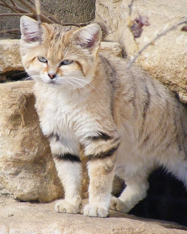the-sand-cat-a-small-and-beautiful-wild-animal-of-the-desert