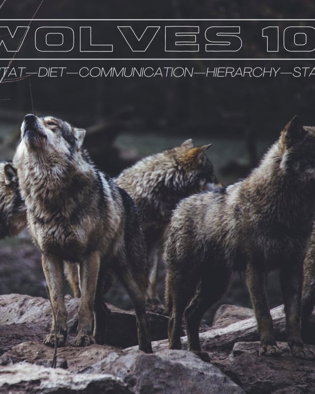 wolves-101
