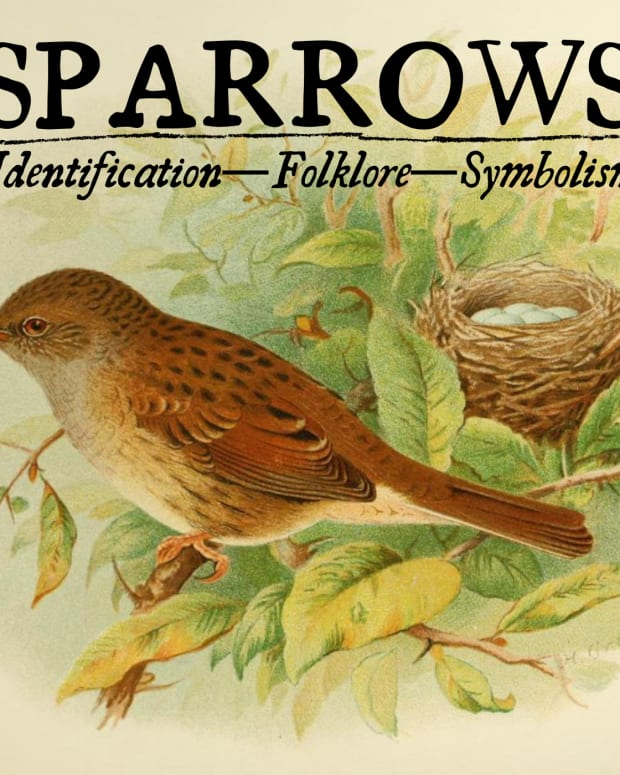 the-meaning-of-sparrows-identification-and-folklore