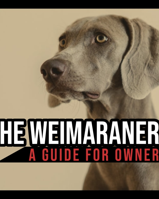 the-weimaraner-a-guide-for-owners