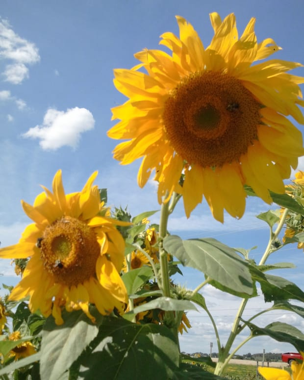 how-to-grow-sunflowers