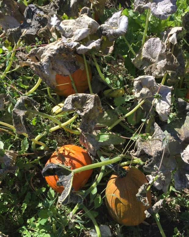 frost-on-the-pumpkin-patch