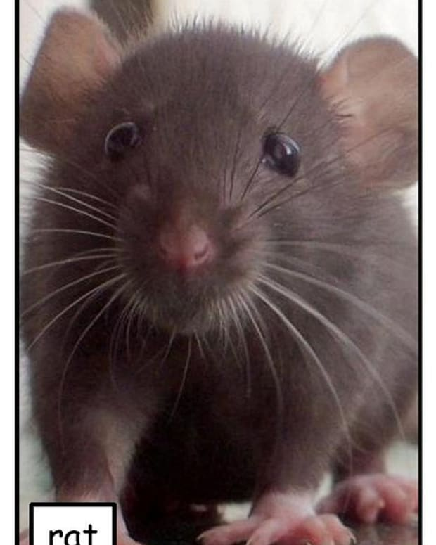 20-supplies-for-pet-rat-care-rat-cages-and-health-that-every-breeder-and-owner-needs