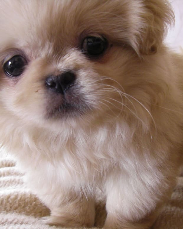 five-best-dog-breeds-from-china
