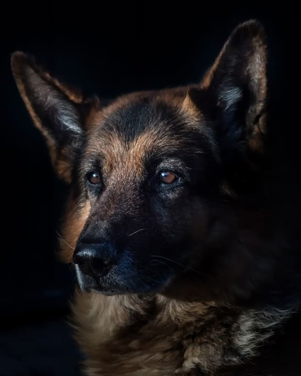 caring-for-older-german-shepherds