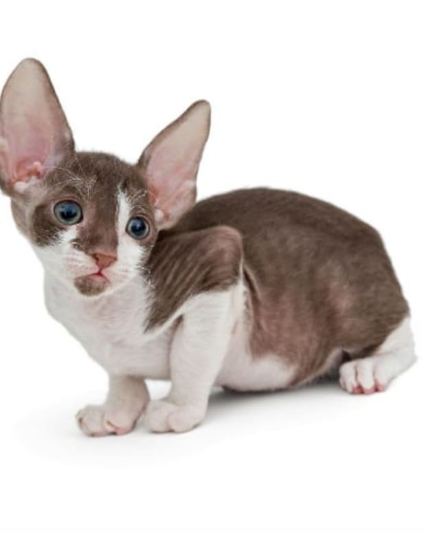 15-great-names-for-cornish-rex-cats-from-cornish-mythology-and-folklore