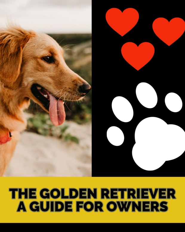 the-golden-retriever-friendly-affectionate-and-highly-intelligent