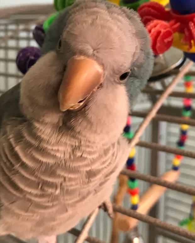 quaker-parrots-amazing-pets