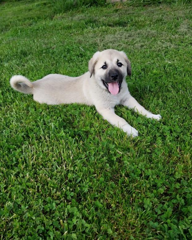anatolian-shepherdgreat-pyrenees-cross-make-great-livestock-guard-dogs