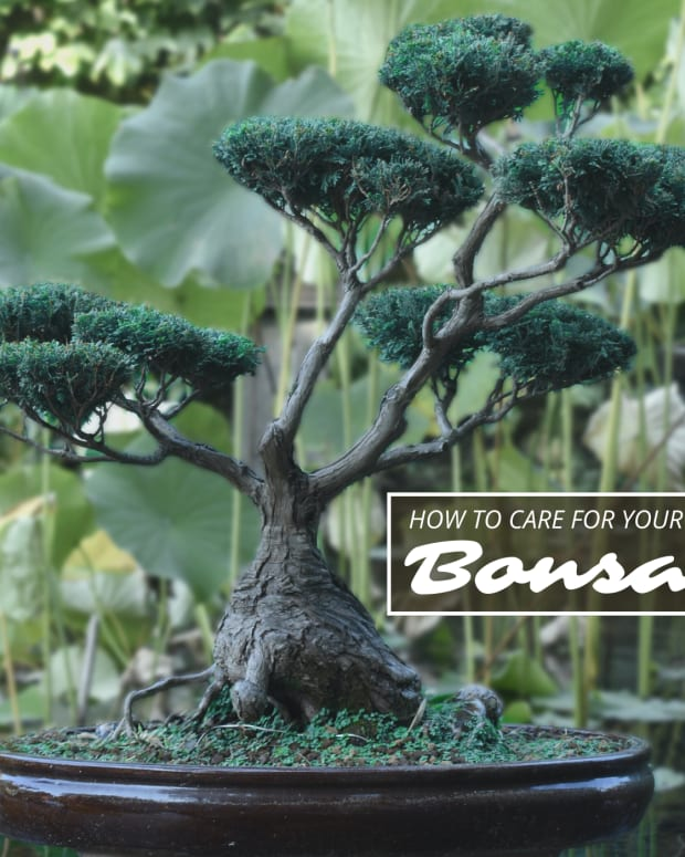how-to-take-care-of-a-bonsai-tree