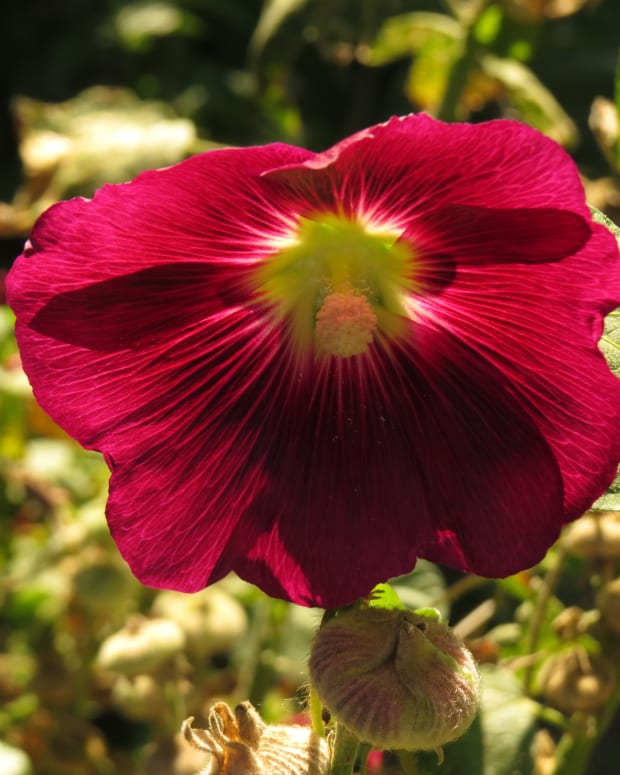 hollyhocks-and-four-oclocks