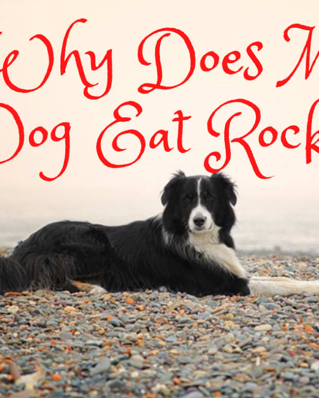why-does-my-dog-eat-rocks