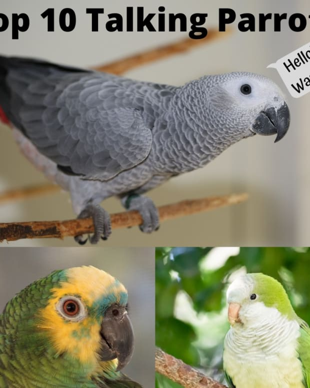 parrots-that-can-talk