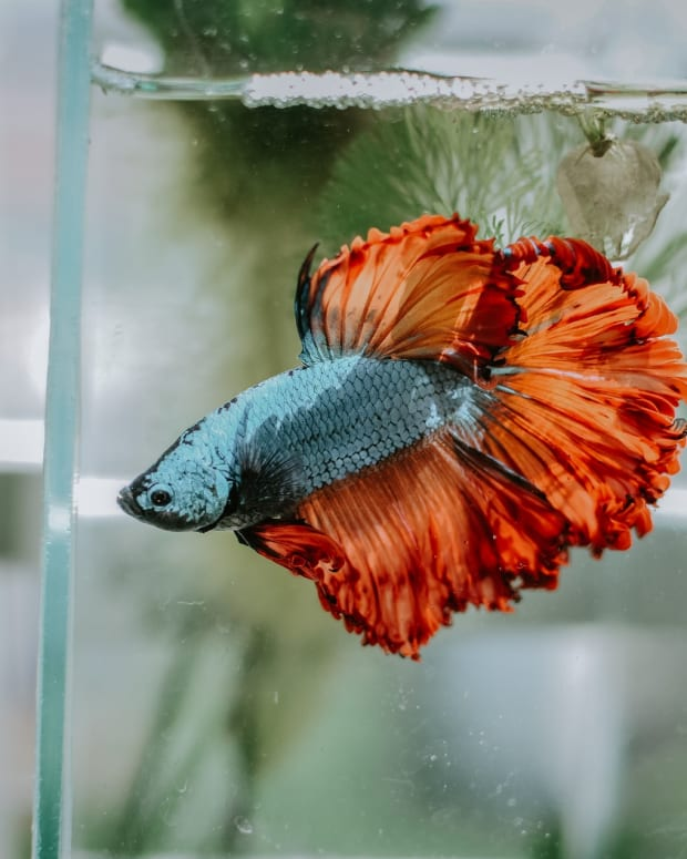 common-betta-fish-myths
