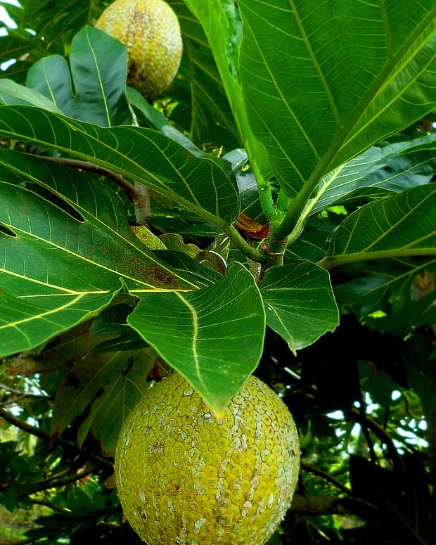 a-tropical-taste-of-hawaii-ulu-breadfruit