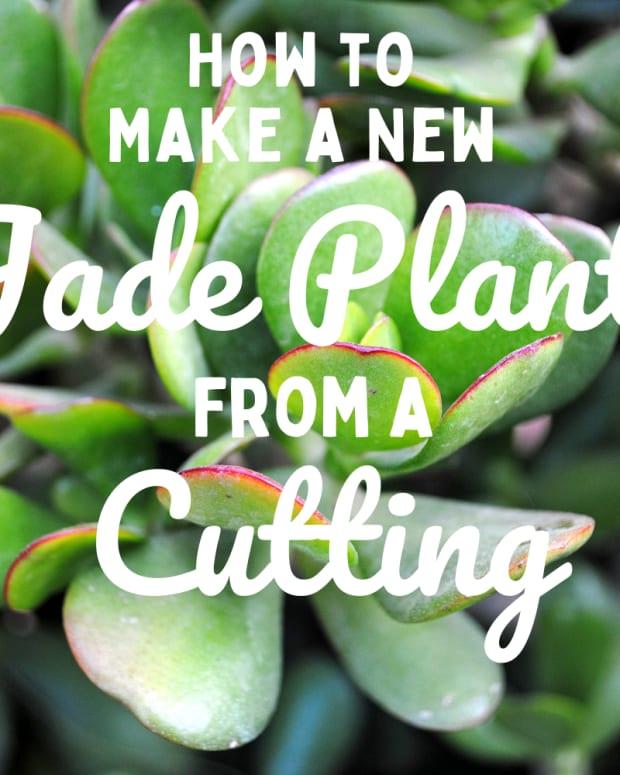 how-to-propagate-jade-plants