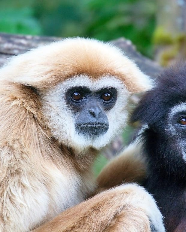 gibbon-facts