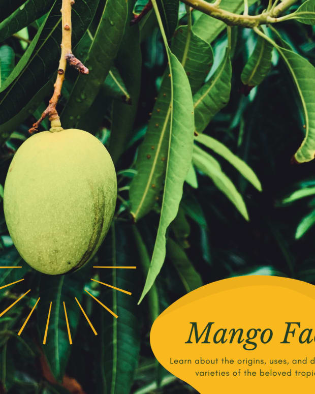 facts-about-mango-trees
