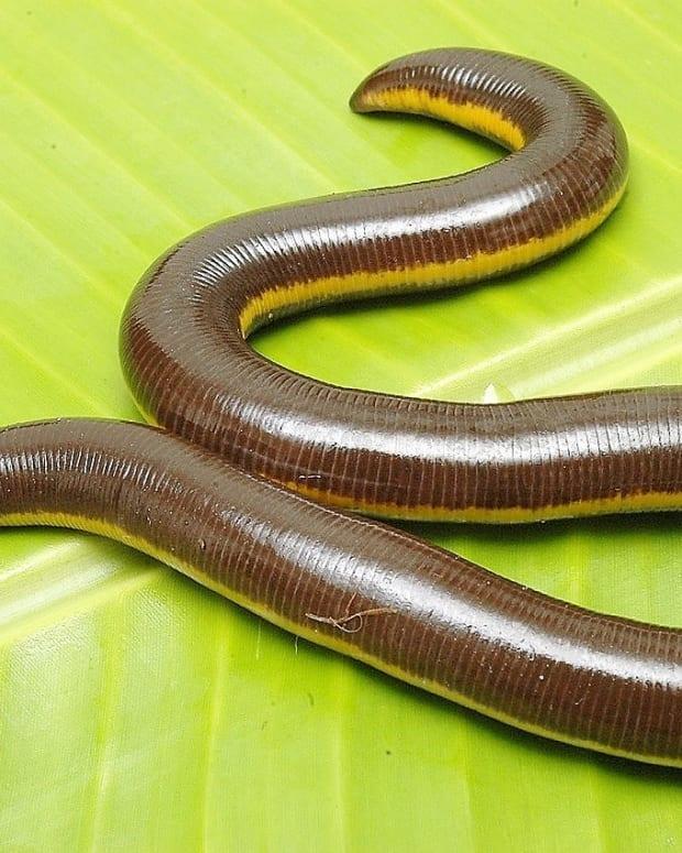 caecilians-unusual-poisonous-and-perhaps-venomous-amphibians