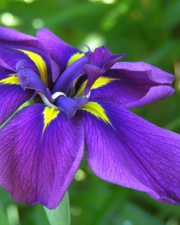 the-deadly-iris-a-satirical-poem