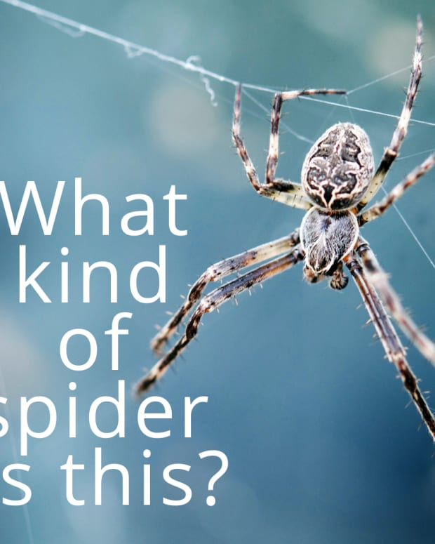 spider-identification