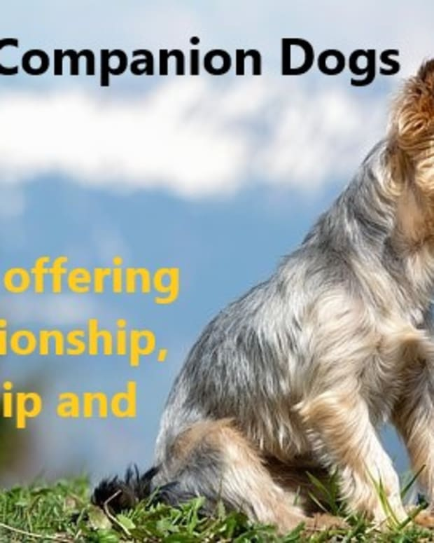 small-companion-dogs-little-canines-with-big-dog-attitude