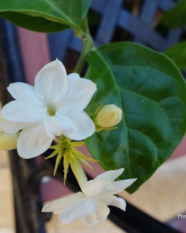 sampaguita-photos-and-experience-growing-arabian-jasmine