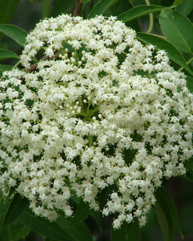 -elderflower-cordial-elderflower-wine-recipes