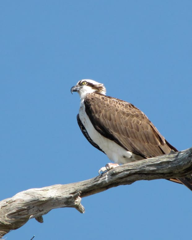 birds-of-prey-the-osprey