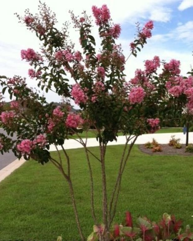 second-bloom-on-crepe-myrtles