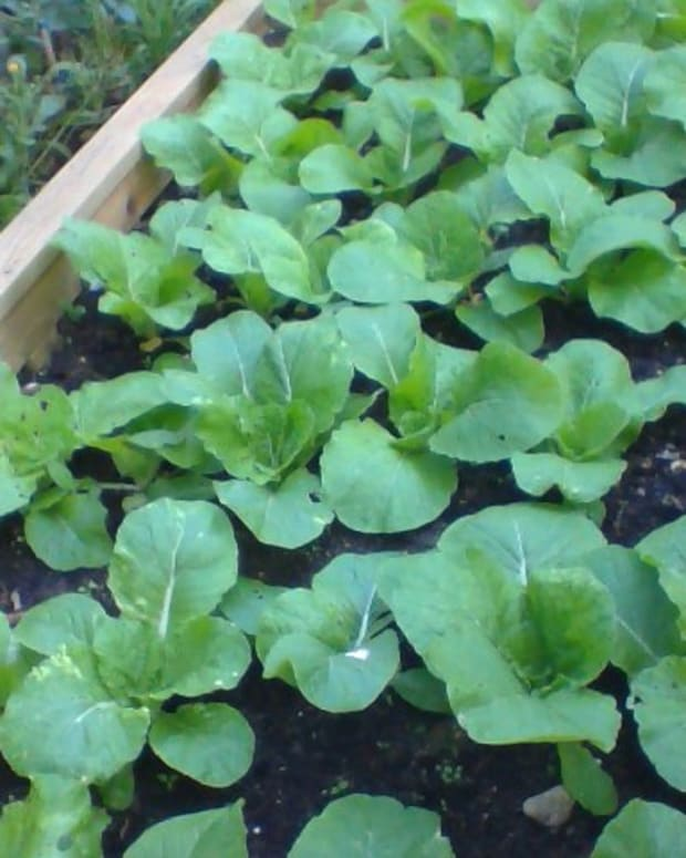 growing-and-looking-after-a-chinese-cabbage-vegetable