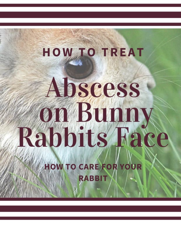 how-to-treat-a-bunny-rabbit-with-an-abscess-on-thier-chin