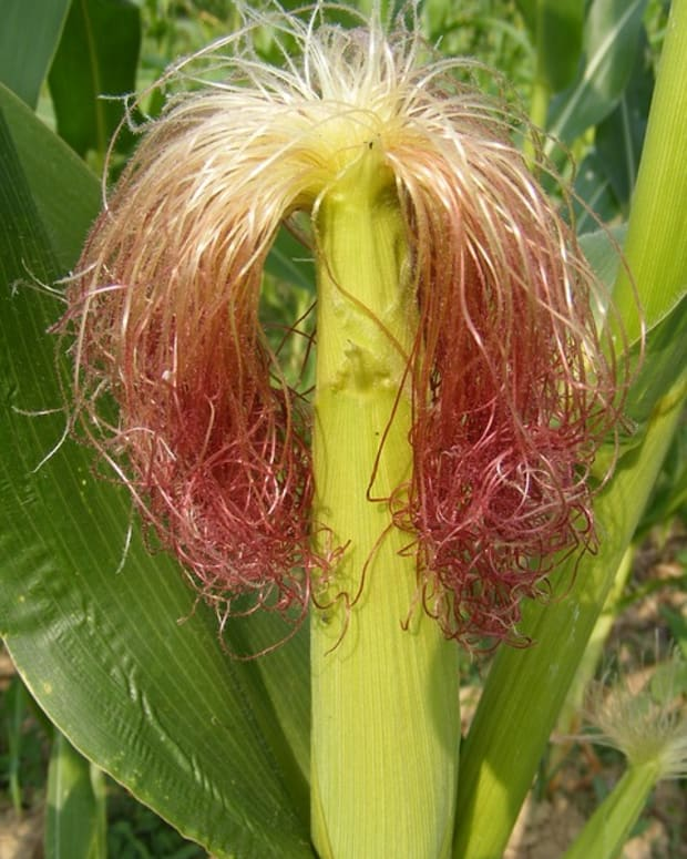 to-your-health-corn-silk
