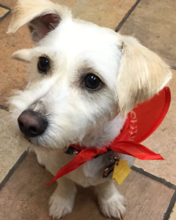 the-joys-and-the-terriers-raising-a-jack-russell-westie-mix