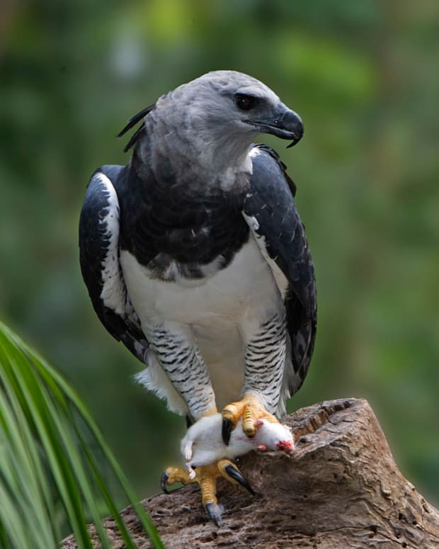 birds-of-prey-the-harpy-eagle