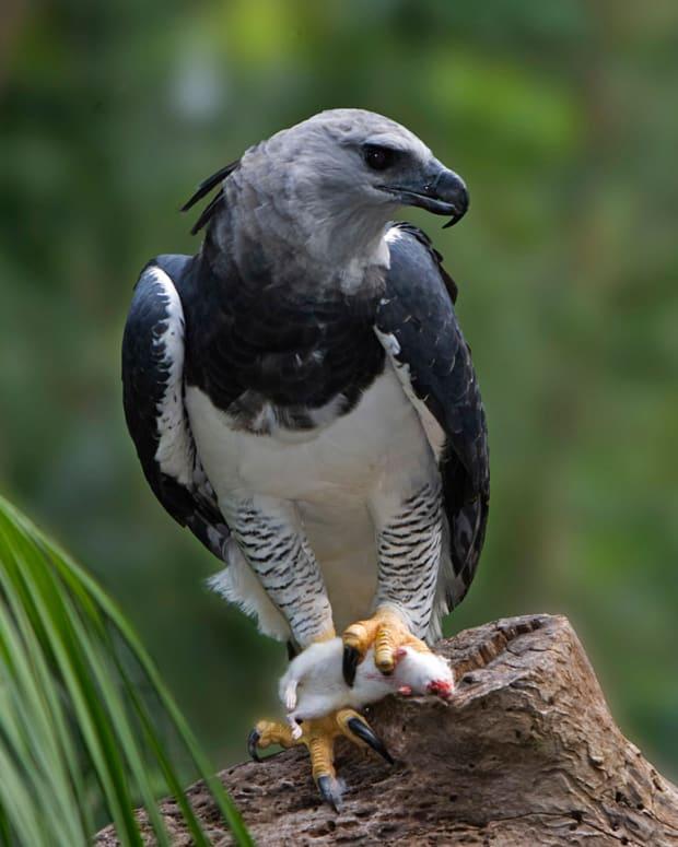 birds-of-prey-the-harpy-eagle
