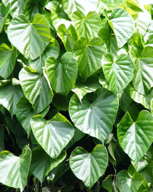 ayurvedic-herbs-guduchi-giloy-amrita-health-benefits