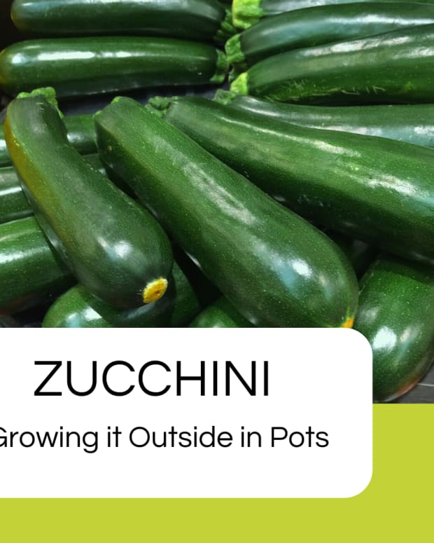 how-to-grow-your-own-courgettes-zucchini
