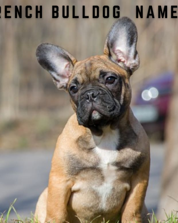 550-french-bulldog-names-with-definitions