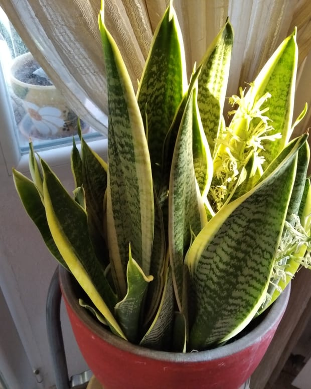 how-to-get-a-snake-plant-to-flower-fast