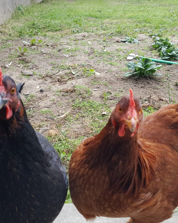 tips-for-raising-backyard-hens