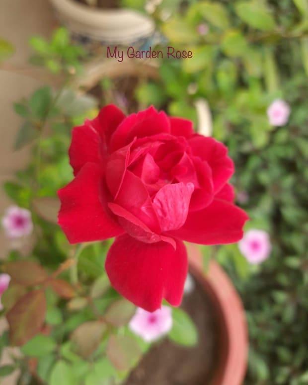 my-garden-rosepoem