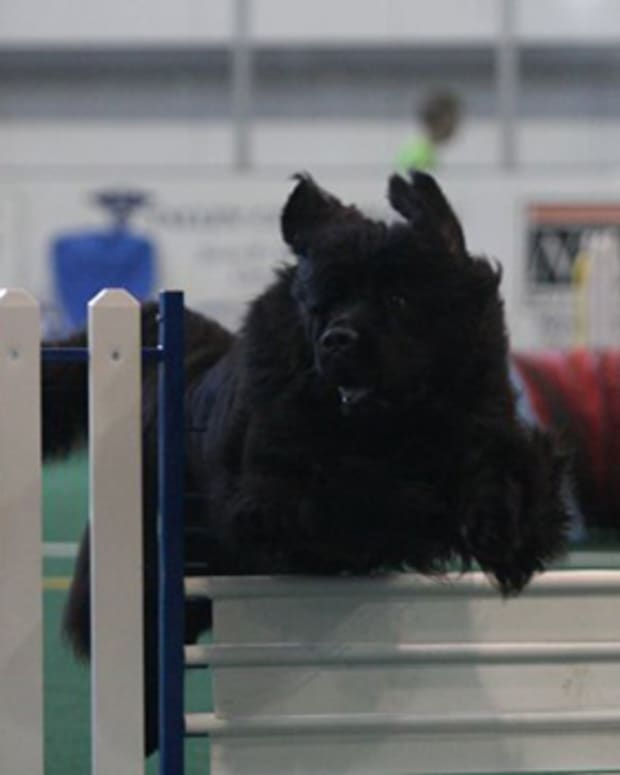 safety-considerations-for-agility-with-newfoundland-dogs