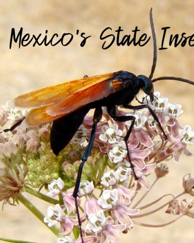state-insect-of-new-mexico