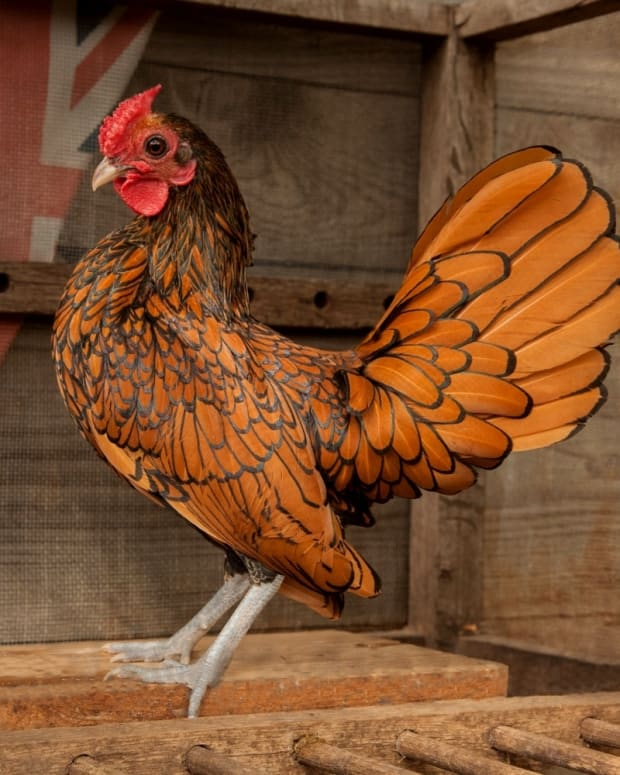 top-10-prettiest-chicken-breeds