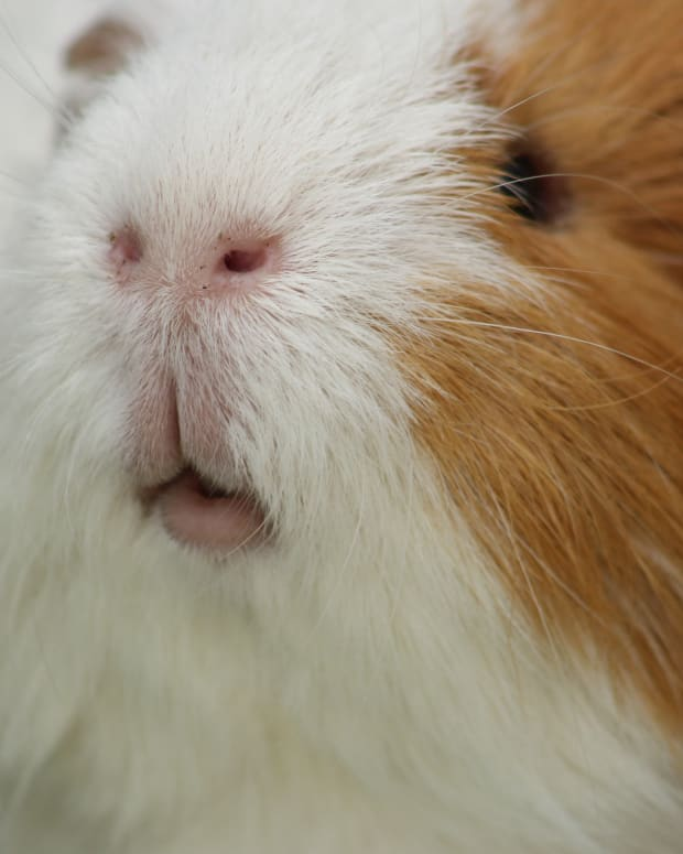 my-experience-with-owning-four-male-guinea-pigs