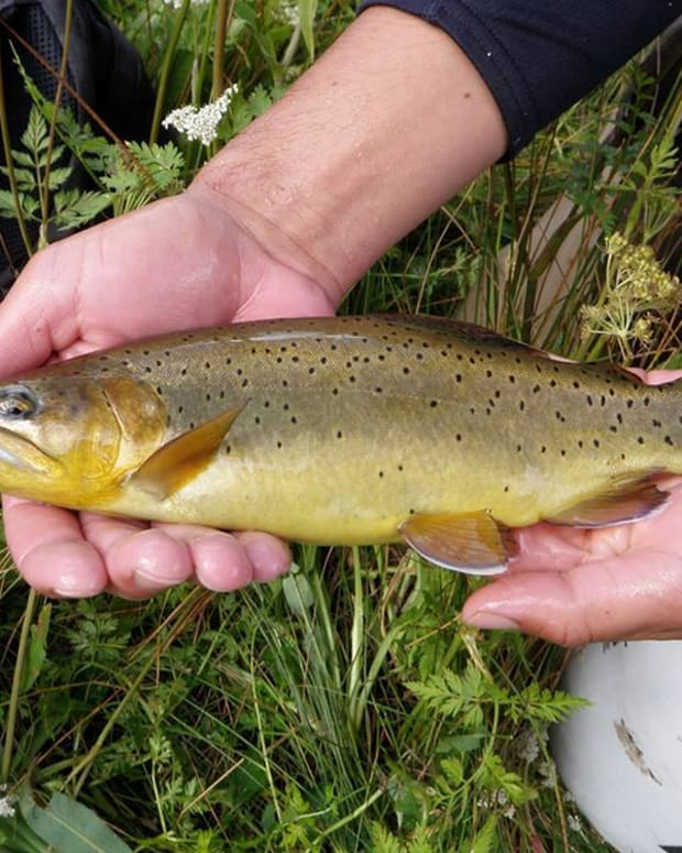 apache-trout-an-arizona-fish-and-species-of-trout-endangered-bolsters-ecosystem-of